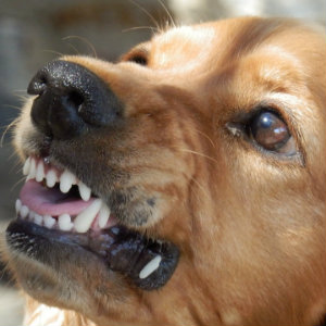 angry dog baring teeth
